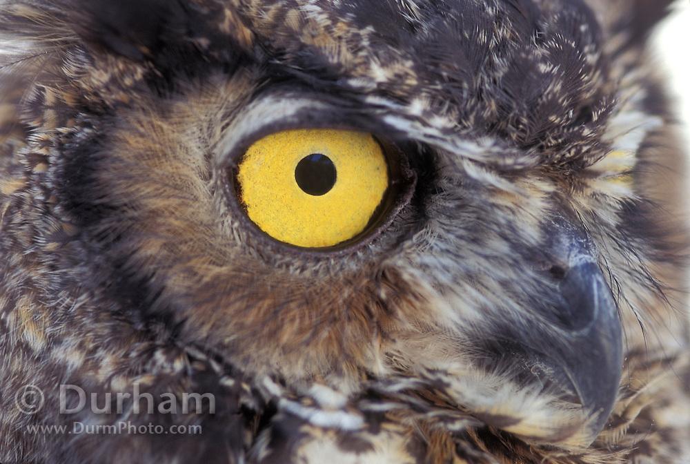Great Horned Owl (Bubo virginianus) eye detail. Captive - Portland, Oregon.
