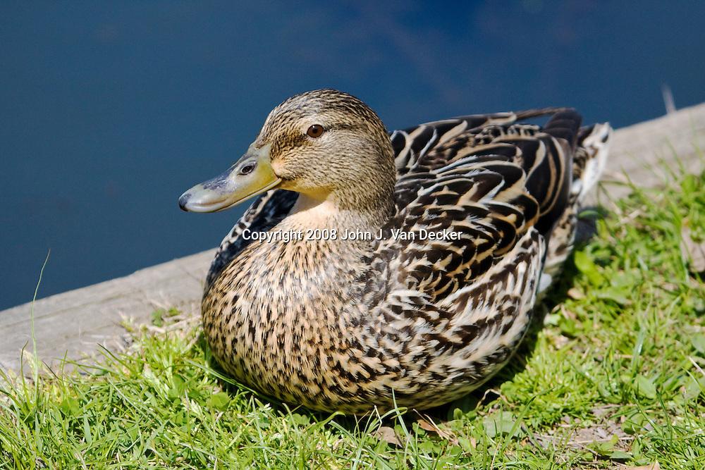 Mallard Duck, Anas platyrhynchos, female, sitting at the edge of a pond