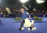 Wendel Sammet, of Bryantville, Massachusetts, handles White Standard Poodle CH Ale Kai Mikimoto On Fifth, owned by Karen LeFrak, of New York City, not shown, as they compete in the Best of Show competition during the National Dog Show presented by Purina, Saturday, November 16, 2002, in Fort Washington, Pennsylvania. CH Ale Kai Mikimoto On Fifth had won first place in the Nonsporting Group earlier in the day. The show is scheduled to be broadcast Thanksgiving Day on NBC. (Photo by William Thomas Cain/photodx.com)