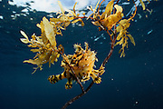Sargassum Fish (Histrio histrio) near the surface on floating Sargassum Weed, Raja Ampat, West Papua, Indonesia, Pacific Ocean [ Sargassum fish (Histrio histrio)<br />