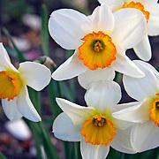 Daffodils - White, orange and yellow