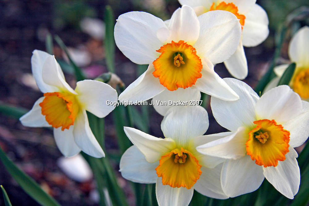 Daffodils - White, orange and yellow