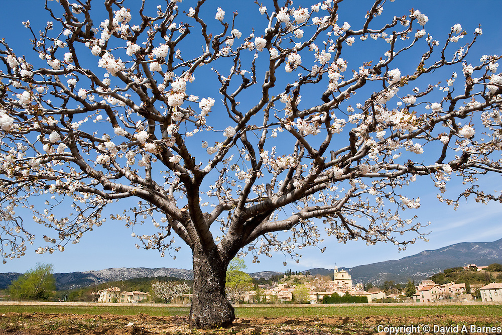 Cherry blooms and vineyard, Comtat Vinaissin, Vaucluse, Provence, France