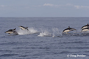 short-beaked common dolphins, Delphinus delphis, <br /> porpoising out of the water at high speed off San Diego, California, U.S.A. ( eastern Pacific Ocean )