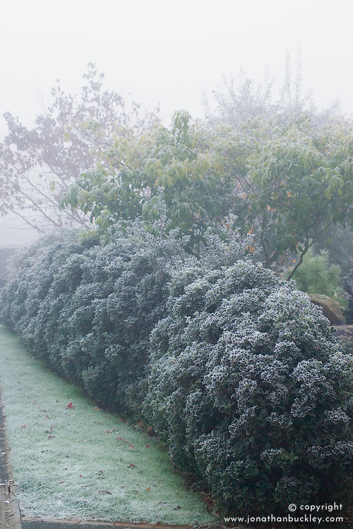 Cloud pruned hedge of Ilex aquifolium 'Alaska' - Holly