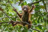 "Bornean Orangutan - ""wurmbii"" subspecies<br /> (Pongo pygmaeus wurmbii)<br /> <br /> Cabang Panti Research Station<br /> Gunung Palung National Park<br /> West Kalimantan, Indonesia<br /> Borneo Island<br /> <br /> Female = Beth<br /> Infant = Benny"
