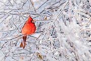 Northern Cardinal; Cardinalis cardinalis; male, Metamora, Michigan