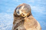 Sunning, Sea Lion