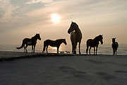 Wild horses and ponies roam the beach at the Assateague Island National Seashore in Maryland during sunrise on July 4, 2008. In the background, waves from the Atlantic Ocean roll in toward the sandy shoreline.