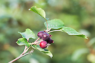Closeup of fruit of Pacific Serviceberry (Amelanchier florida) wild berry at Eklutna Lake in Chugach State Park in Southcentral Alaska. Summer. Morning.
