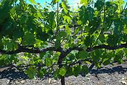Scott Henry dual fruiting zones, Gimlett Gravels