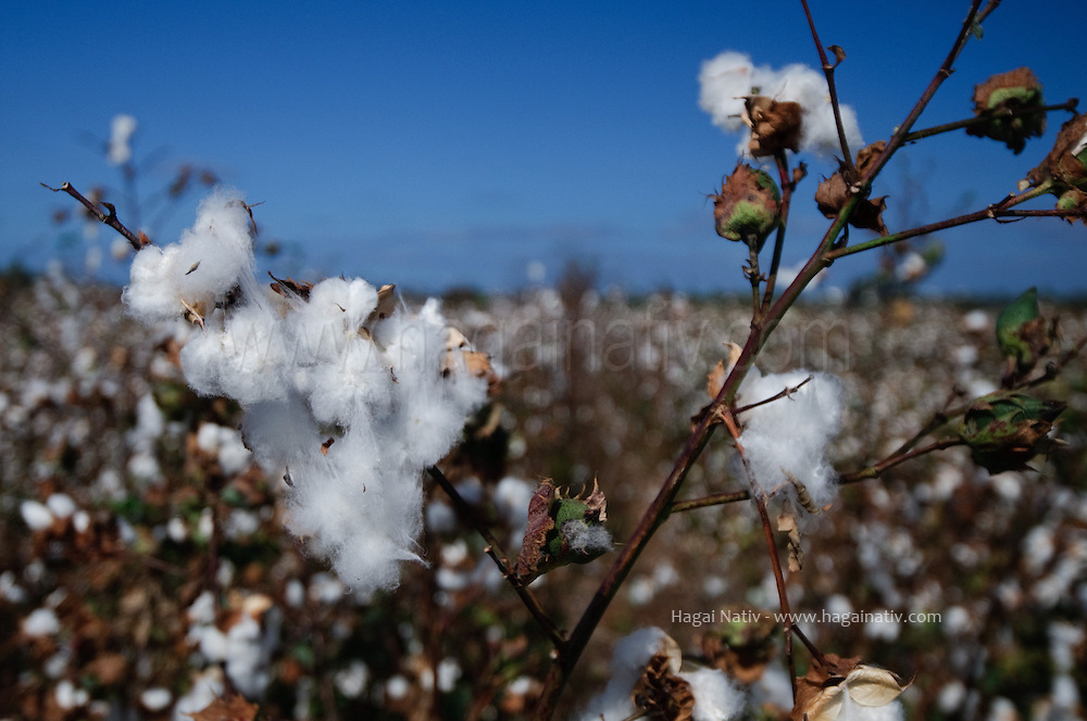 Cotton is a soft, fluffy staple fiber that grows in a boll, or protective capsule, around the seeds of cotton plants of the genus Gossypium. The fiber is almost pure cellulose. Under natural condition, the cotton balls will tend to increase the dispersion of the seeds.