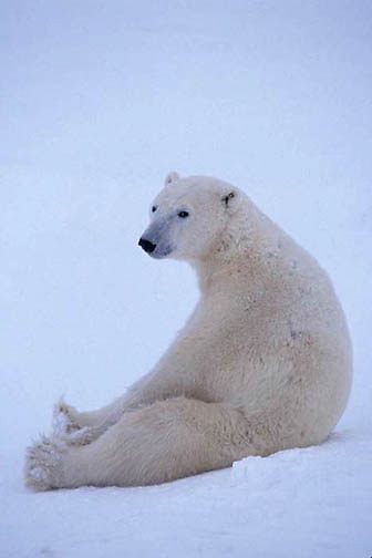 Polar Bear, (Ursus maritimus) Sub-adult, sitting, waiting for winter freeze-up. Hudson Bay. Manitoba. Canada.