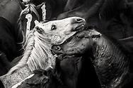 """Rapa das Bestas es el nombre de una operación que consiste en cortar las crines de los caballos salvajes que viven libres en las montañas en estado semi-férreo y que se realizan en los curros (Lugares que retienen los caballos) que se celebran en varios lugares de Galicia (España). Estos caballos viven en las montañas que pertenecen a los pueblos (una forma de propiedad derivada de los Suevi, alrededor del siglo VIII) y tienen varios propietarios (propietarios privados, la parroquia o el pueblo), cada año los potrillos son marcados y los adultos afeitados y despojados y luego liberados de nuevo a las montañas. La más conocida es la Rapa das Bestas de Sabucedo, en el ayuntamiento de A Estrada, que dura tres días: el primer sábado, el domingo y el lunes de julio. De hecho, el nombre dado a la celebración (Rapa das Bestas de Sabucedo), mientras que en la mayoría de los lugares hablando de curros. Es una noble lucha entre el hombre y el animal. Sabucedo miden su fuerza en Pontevedra, donde este año han reunido 400 caballos. El primer paso es eliminar a los potros para su seguridad. Una misión confiada a los más pequeños. El trabajo de los aloitadores es una cuestión de habilidad y fuerza, pero también de experiencia. Y caballo montando, el tiempo se detiene. El caballo lo reduce por tres. Si te vas, estás parado rapa, y si no, como nos dice Emilio, aloitador, """"tenemos que jugar a desequilibrase y tumbarnos en el suelo para cortarles las crines"""". La aloitadora, Lucia González, cree que """"el momento es el más peligroso lo golpea"""". La fiesta termina con el regreso del animal a montar. Será un adiós. Ambas partes saben que su fuerza se mide de nuevo dentro de un año, a partir del siglo XVIII. La Rapa das Bestas, declarada de Interés Turístico Internacional desde 2007, acoge anualmente a miles de visitantes de todo el mundo que viajan para disfrutar de un espectáculo de gran intensidad."""
