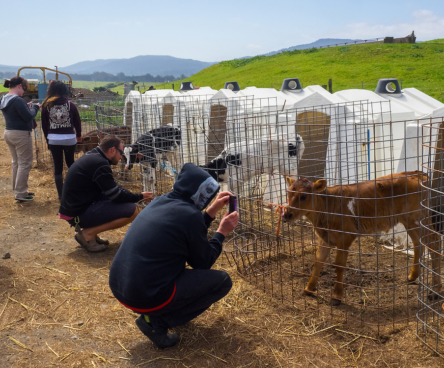"Demonstrating ""selfies"" for calves at Point Reyes Farmstead"