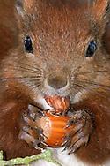 DEU, Deutschland: Europäisches Eichhörnchen (Sciurus vulgaris), frißt eine Haselnuss, Nüsse sind die Leibspeise von Eichhörnchen, es hält die Nuss mit seinen langen Fingern und messerscharfen Krallen fest umschlossen und nagt eine Stelle auf, danach wird ein Teil der Schale abgesprengt und das Innere kann verzehrt werden, Eckernförde, Schleswig-Holstein | DEU, Germany: Eurasian Red Squirrel (Sciurus vulgaris), eating a hazelnut, nuts are favorite food of squirrels, it holding the nut with it long fingers and razor sharp claws, gnawing away at it and opening the shell and so the nut can be eat; Eckernfoerde, Schleswig-Holstein