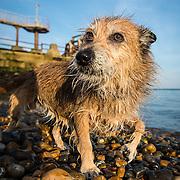 Billie the Terrier cross at Shoreham Port and beach