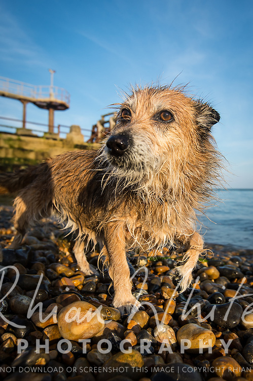 Billie the Terrier cross at Shoreham Port and beach