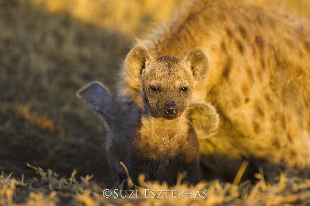 Spotted Hyena<br /> Crocuta crocuta<br /> 8-10 week old cub<br /> Masai Mara Conservancy, Kenya