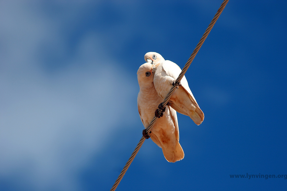 cockatoos sitting on Power lines