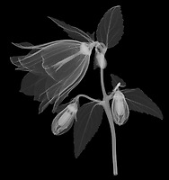 X-ray image of a 'Wedding Bells' bellflower (Campanula punctata 'Wedding Bells', white on black) by Jim Wehtje, specialist in x-ray art and design images.