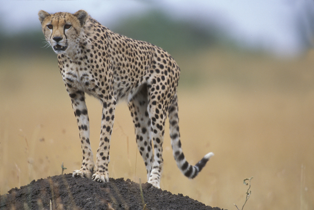 Africa, Kenya, Masai Mara Game Reserve, Adult Female Cheetah (Acinonyx jubatas) surveys savanna from atop termite mound