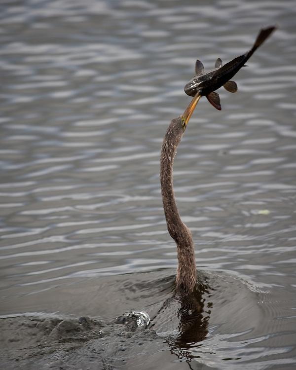 Anhinga anhinga anhinga photography by tom w for Delray beach fishing