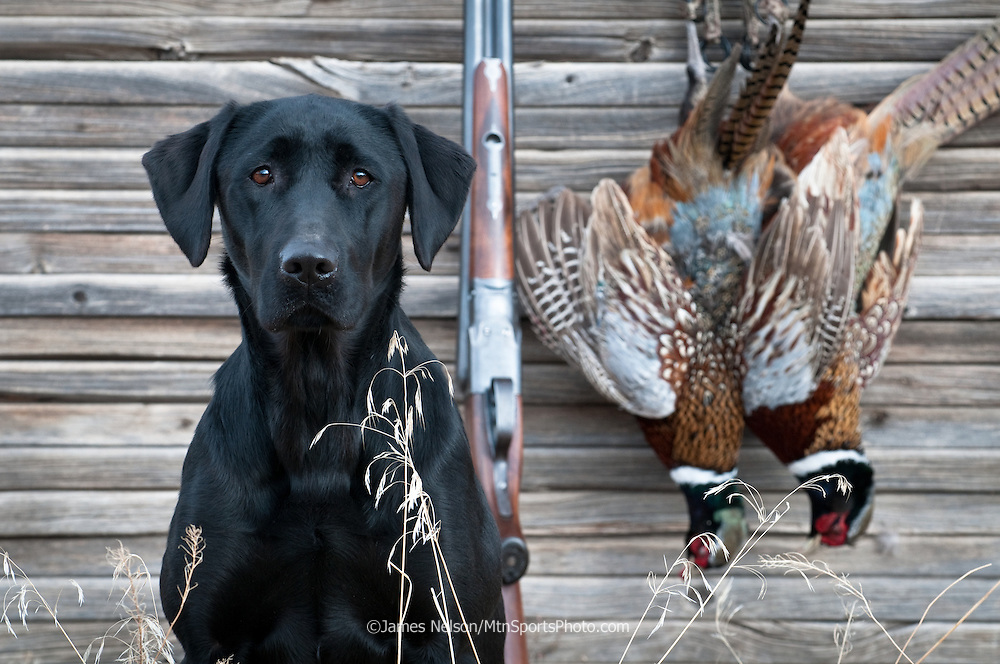 A black Labrador retriever sits beside a pair of rooster pheasants and a Parker double-barrel shotgun after a morning upland bird hunt in southeast Idaho.