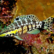 Harlequin Bass inhabit low profile reefs, areas of coral rubble and sea grass beds in Tropical West Atlantic; picture taken Panama, near San Blas Islands.