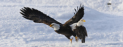 A bald eagle (Haliaeetus leucocephalus) flies away from another bald eagle on Chilkat River in the Alaska Chilkat Bald Eagle Preserve near Haines, Alaska. During late fall, bald eagles congregate along the Chilkat River to feed on salmon. This gathering of bald eagles in the Alaska Chilkat Bald Eagle Preserve is believed to be one of the largest gatherings of bald eagles in the world.