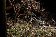 Northern Raccoon (Procyon lotor)<br /> TEXAS: Travis Co.<br /> Brackenridge Field Laboratory; Austin<br /> 10-March-2011<br /> J.C. Abbott
