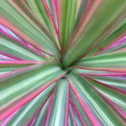 Hawaiian Ti (Cordyline terminalis) Plant Close-up, Maui, Hawaii, US
