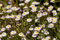 Oxeye Daisy is a small white flower about two inches in diameter with a yellow center.
