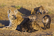 Spotted Hyena<br /> Crocuta crocuta<br /> Mother and 12-14 week old cub(s)<br /> Masai Mara Conservancy, Kenya