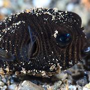 Cute juvenile star pufferfish (Arothron stellatus), photographed in Ambon, Indonesia.