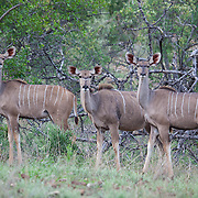 Group of greater kudu (Tragelaphus strepsiceros) in summer in Mapungubwe National Park, South Africa.