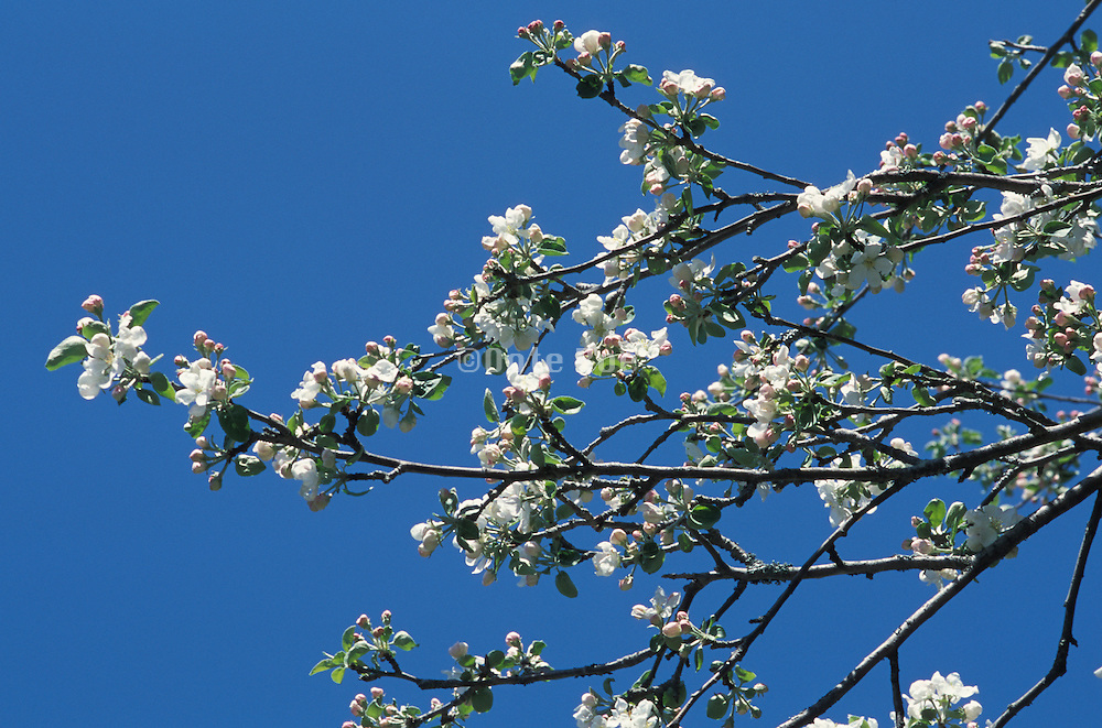 White cherry blossoms reaching across the sky