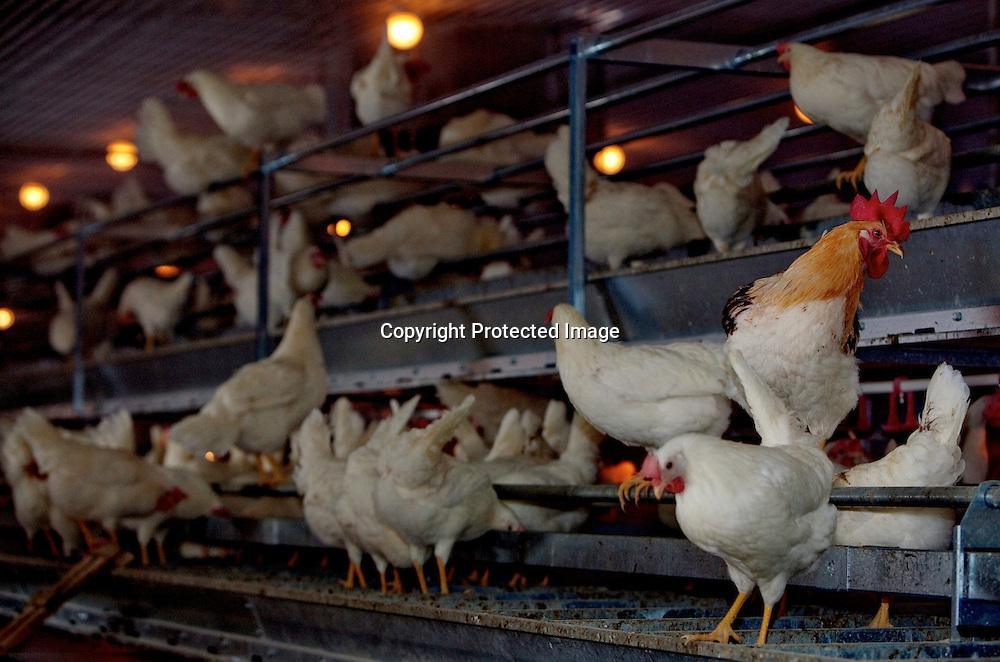 26032009, Totenvika. PÅSKEHANE: En og annen stolt hane er utplassert i hønsehuset, for å holde styr på hønene, og sørge for lov og orden i rekken med hønsehjerner. Eggene vi spiser er som oftest ikke befruktet av en hane...Foto: Daniel Sannum Lauten/VG