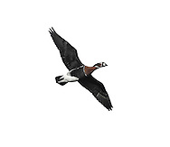Red-breasted Goose - Branta ruficollis - in flight. Unmistakable with its red, black and white plumage. It breeds in Siberia and normally winters in Romania.