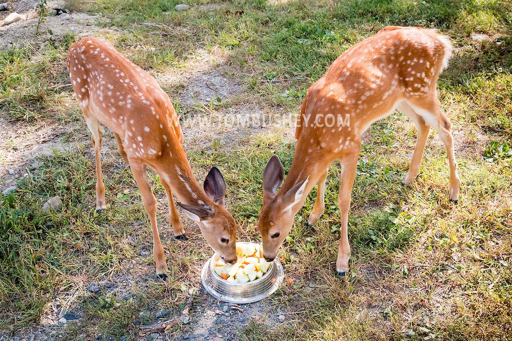 Otisville, New York - Rehabilitated white-tailed deer eat apples at the Orphaned Wildlife Center on Sept. 7, 2016.
