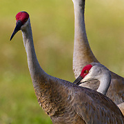 Sandhill cranes, Grus canadensis, migrate Florida where they spend the winter months in the Everglades. <br /> Photography by Jose More