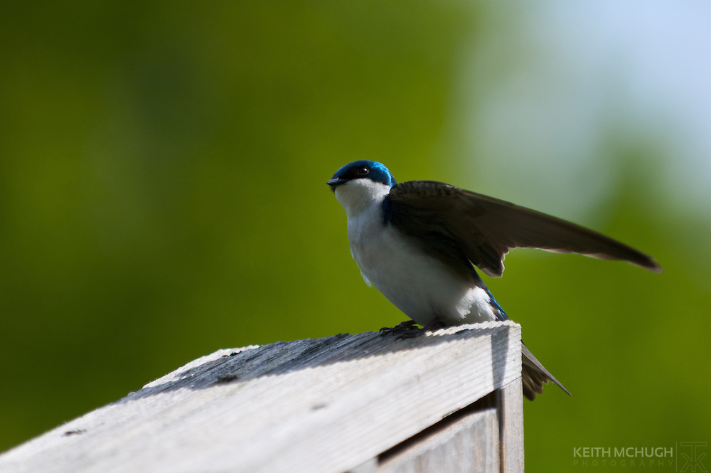 Tree swallow landing on a nesting box