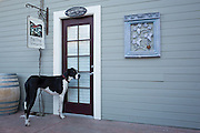 Great Dane, Daisy, waits outside the tasting room door as visitors taste wine and watch the San Francisco 49ers playoff game at Big Dog Vineyards in Milpitas, California, on January 5, 2014. Big Dog Vineyards is open for wine tasting the first full weekend of each month and is located at 4545 Felter Rd. (Stan Olszewski/SOSKIphoto)