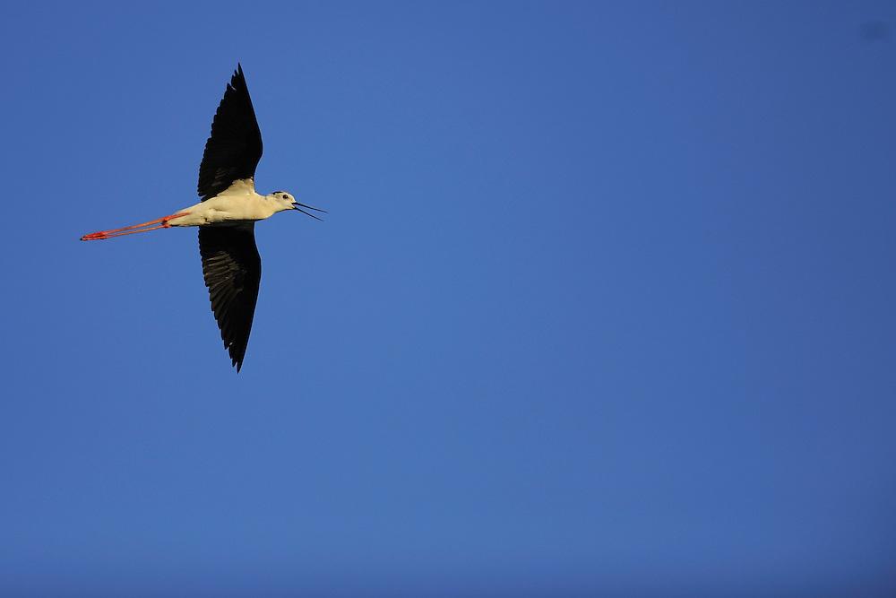Black winged Stilt (Himantopus himantopus). The Karavasta Lagoons National Park, Albania June 2009