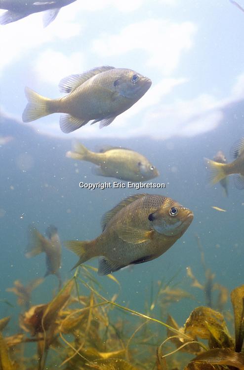 Bluegill Sunfish<br /> <br /> ENGBRETSON UNDERWATER PHOTO