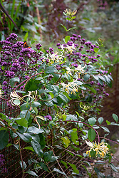 Origanum laevigatum 'Herrenhausen' AGM and Lonicera periclymenum 'Graham Thomas' AGM - Honeysuckle - growing through a low metal rabbit proof fence