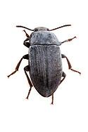 Darkling Beetle (Blapstinus fortis)<br /> TEXAS: Edwards County<br /> off C.R. 24; Camp Wood, 6 km NW<br /> 29-May-2012<br /> J.C. Abbott &amp; K.K. Abbott