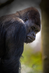 01.04.2016, Zoo, Duisburg, GER, Tiere im Zoo, im Bild Gorilla schaut traurig/misstrauisch // during visit to the Zoo. Duisburg, Germany on 2016/04/01. EXPA Pictures © 2016, PhotoCredit: EXPA/ Eibner-Pressefoto/ Hommes<br /> <br /> *****ATTENTION - OUT of GER*****