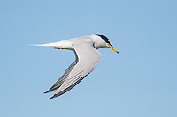 Adult Little Tern in Flight, Sundays River Estuary, Algoa Bay, Eastern Cape, South Africa