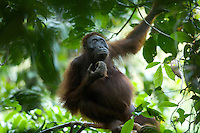 Adult female Bornean Orangutan.(Beth)